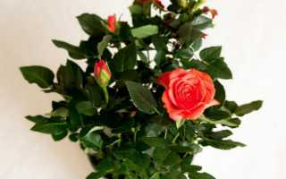 Роза патио микс как ухаживать в саду