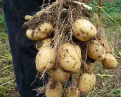 Как выращивать картофель по голландской технологии