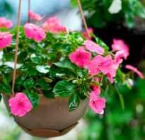 Растение с розовыми листьями