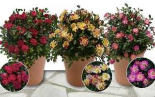 Розы в горшочках уход и содержание