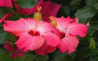 Виды и сорта гибискуса садового