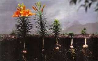 Когда лучше всего сажать лилии осенью или весной