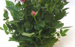 Роза стар розес