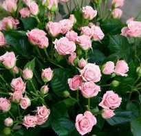 Популярные сорта маленьких роз