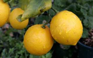 Как выглядит дерево лимон фото цветов и листьев