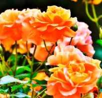 Подготовка почвы под выращивание роз