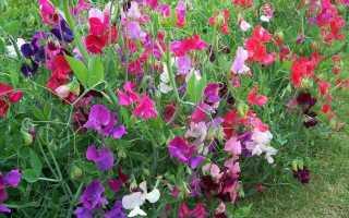 Однолетние низкорослые цветы