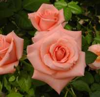 Плоды розы применение