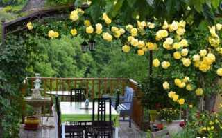 Плетистая роза размножение черенками осенью