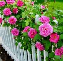 Плетущая роза уход на зиму