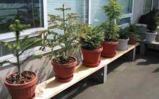 Домашние хвойные растения в горшках