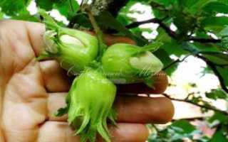 Лещина выращивание в саду