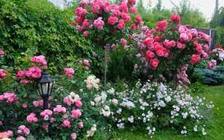 Роза на штамбе фото
