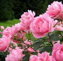 Виды и сорта популярных кустовых цветов пион древовидный