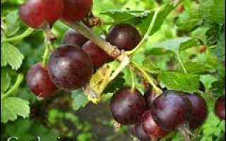 Плодоношение и переработка ягод йошты
