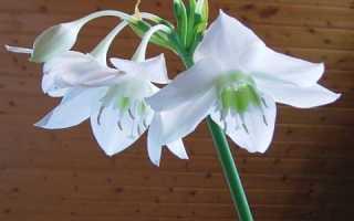 Амазонская лилия цветет несколько раз