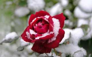 При какой температуре замерзают розы