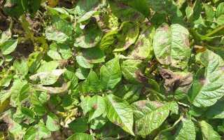 Фитофтороз картофеля фото