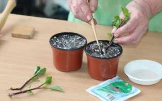 Выращивание георгинов из клубней черенкование ростков