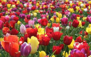 Фото тюльпанов с описанием