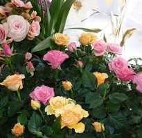 Разновидности комнатных роз фото и названия