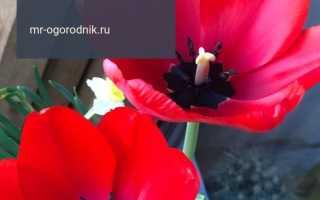 Начнем с сортов тюльпанов для выгонки