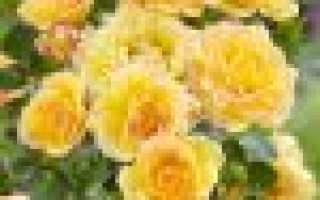 Почвопокровные розы уход и выращивание