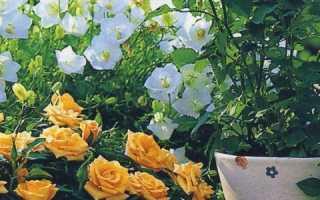 Чем подкормить комнатную розу в домашних условиях