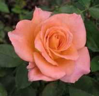 Полезные свойства розы чайной