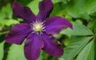 Клематисы 3 группы обрезки лучшие сорта и виды
