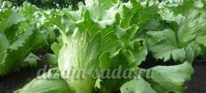 Сорта листового салата