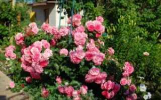Плетистые розы на Урале выращивание