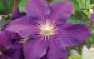 Клематисы семенами как выращивать