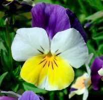 Анютины глазки описание растения