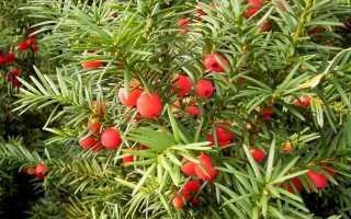 Тис ягодный это красное дерево