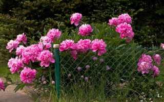 Когда лучше сажать пионы осенью или весной