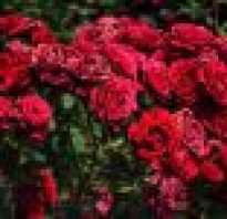 Розы длительно цветущие