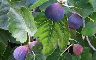 Как выращивать инжир в саду