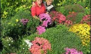 Черенкование хризантем легко и просто