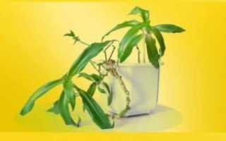 Золотоус домашнее растение