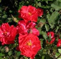 Популярные сорта канадских роз