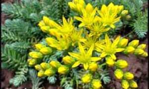 Почвопокровные растения в борьбе с сорняками