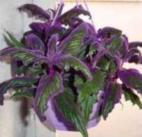 Гинура ginura цветы с бордовыми листьями