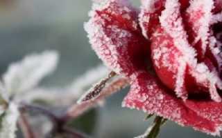 Чем лучше укрывать розы на зиму