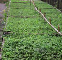Дивный сад питомник семилуки