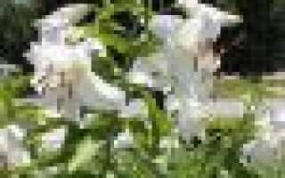 Как выглядит лилия цветок