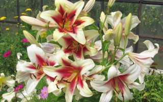 Когда лучше сажать и пересаживать лилии