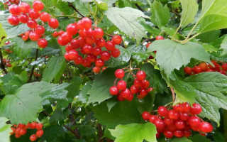 Калина красная описание растения