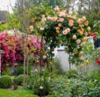 Правила подготовки роз к зиме
