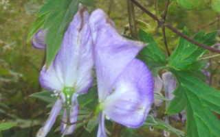 Тенелюбивые вьющиеся растения для сада многолетние